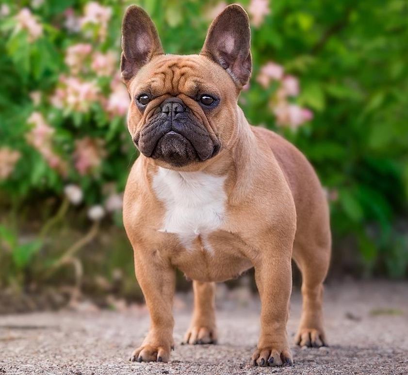 названия фото собаки фото французские и