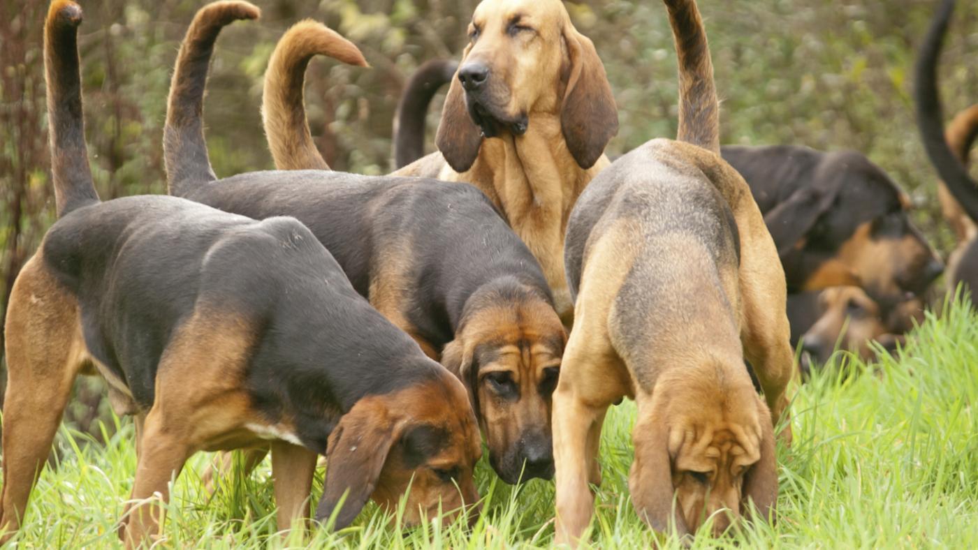Виды гончих собак