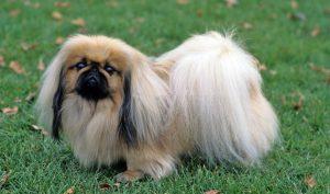 Пекинес: маленькая пушистая собачка китайского происхождения