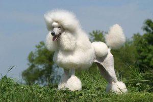 Пудель - очень умная кучерявая собака