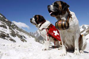 Сенбернар: добрая собака-компаньон и отважный спасатель в горах