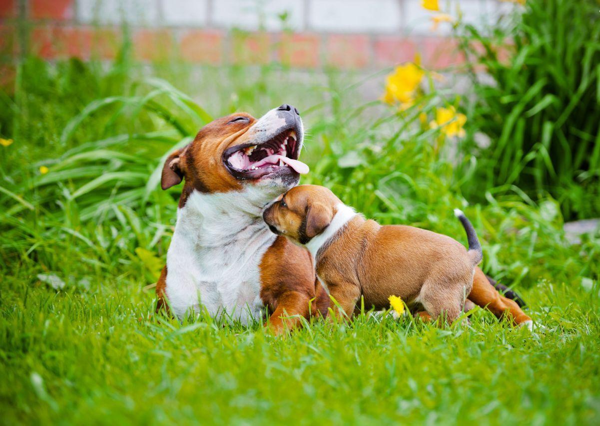 Средние породы собак: стаффордширский терьер