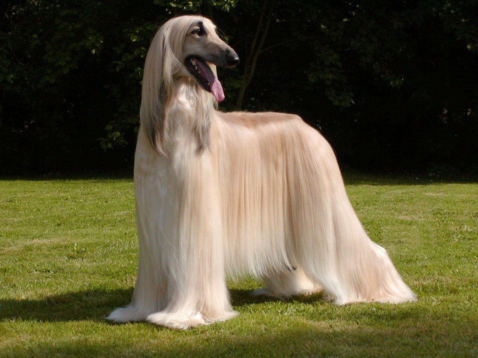 Как выглядит собака афган?