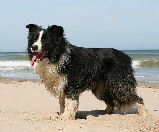 Бордер-колли - самая умная порода собак