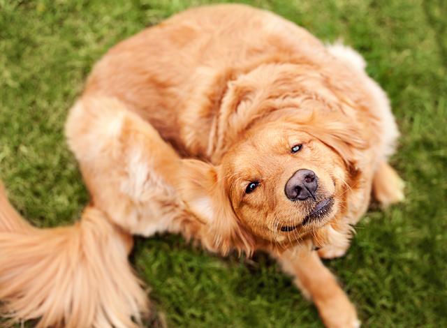 Аллергия у собак: причины, симптомы, лечение