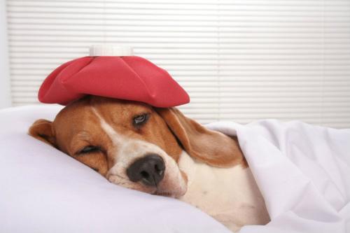 Клещи у собак: симптомы, лечение, профилактика