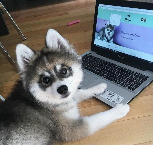 Средние породы собак для квартиры: аляскинский кли-клай