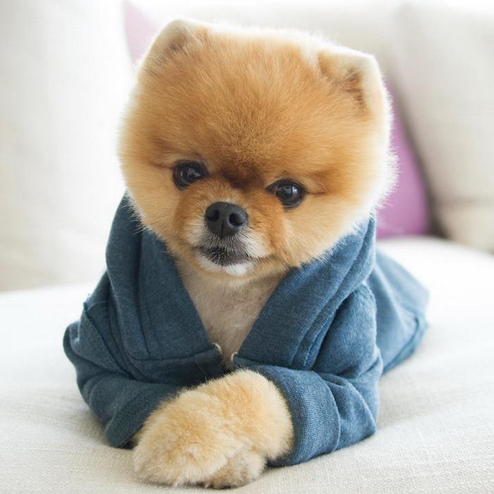 Маленькие собаки: померанский шпиц