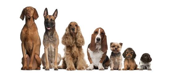 На что обратить внимание при выборе собаки для квартиры?