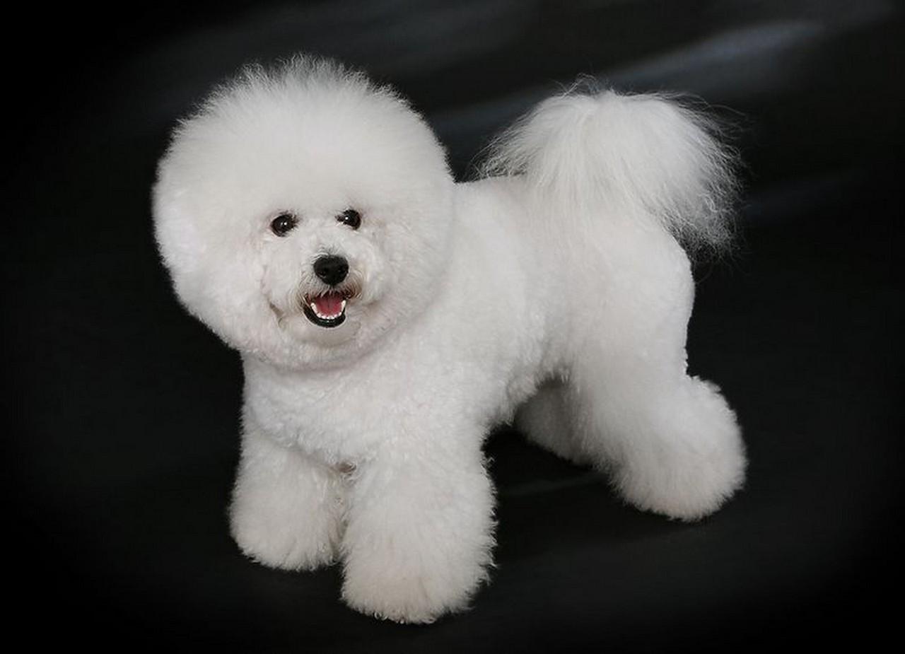 Бишон фризе (французская болонка): маленькая кудрявая собака