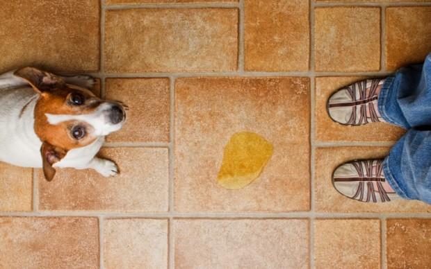 Как научить собаку ходить в туалет на улицу?