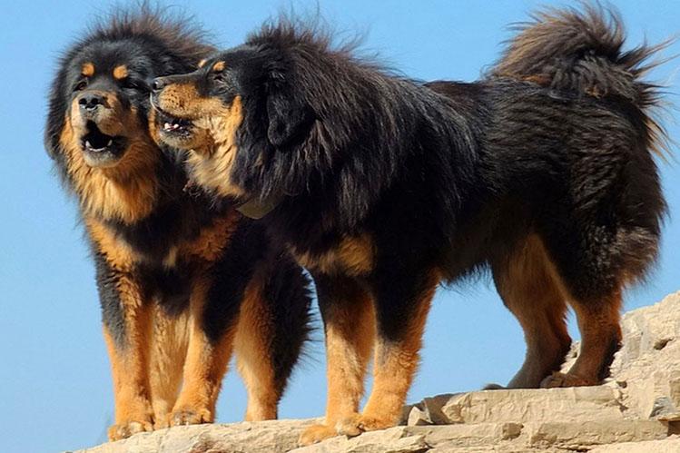 Тибетский мастиф - очень дорогая и большая порода собак