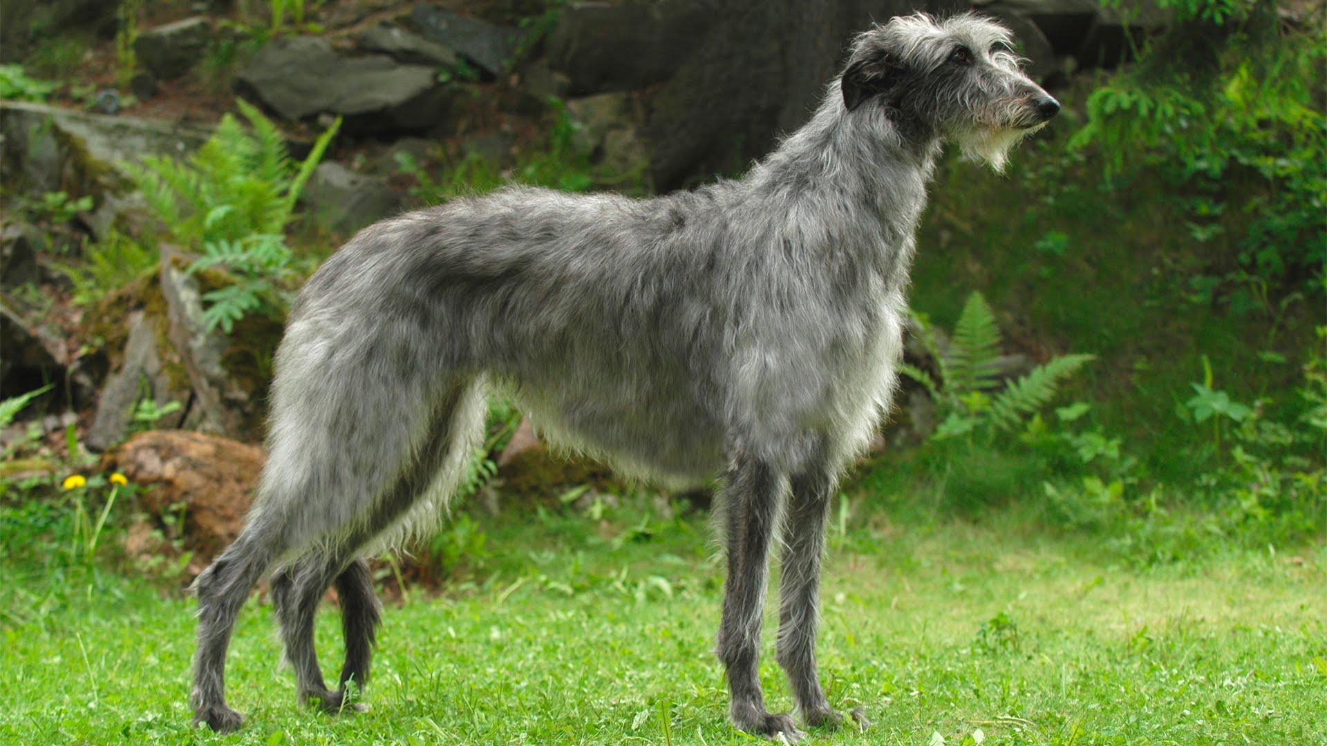 Дирхаунд - шотландская оленья борзая. Все о породе