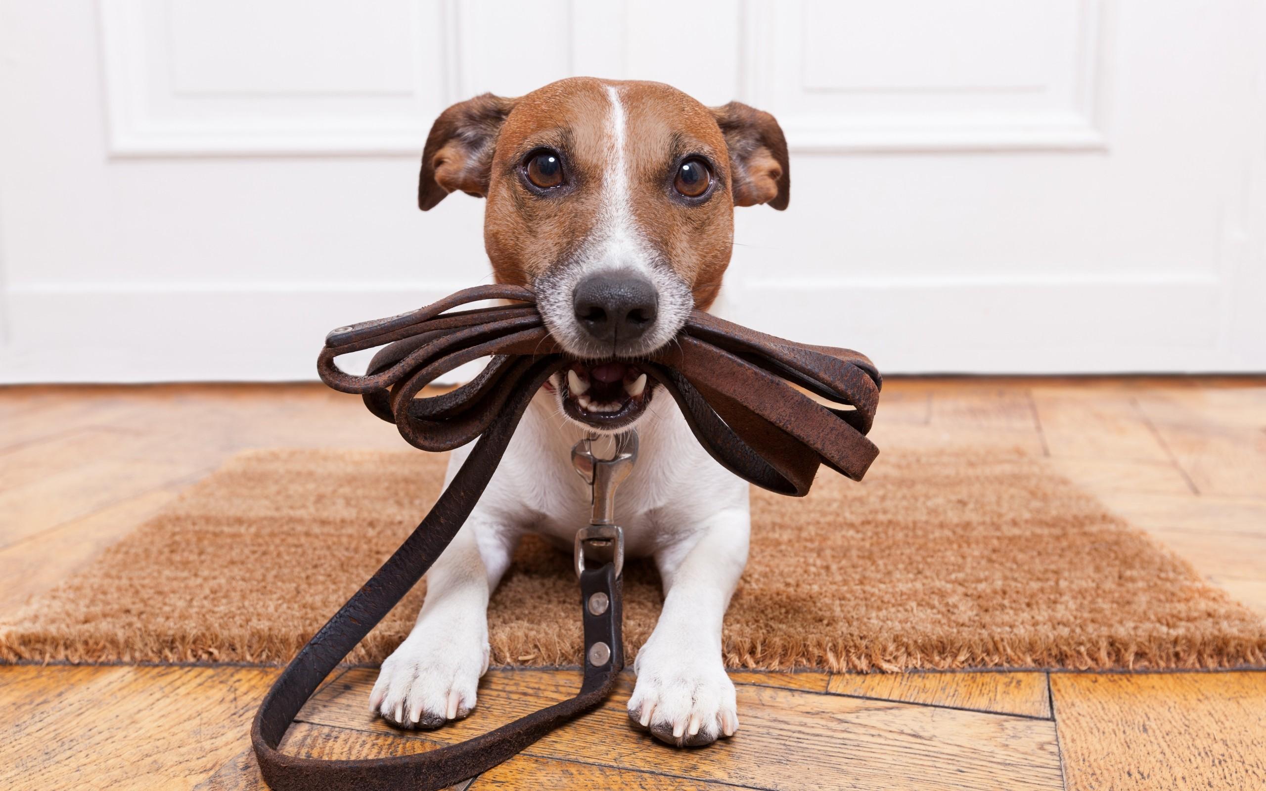 Как приучить собаку к ошейнику и поводку?