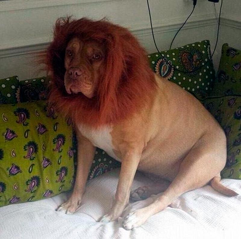 Собака с гривой