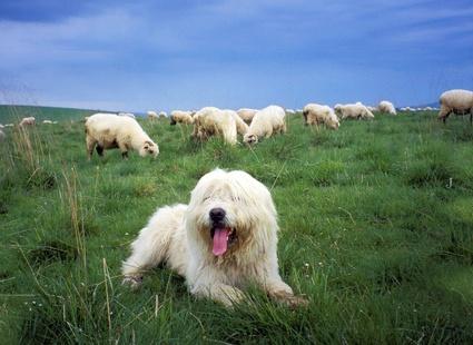 Пастушьи собаки
