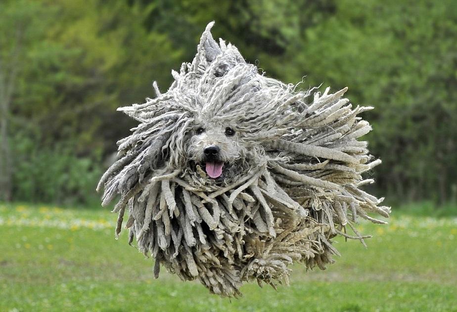 Собаки с дредами