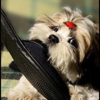 Собаки и тапки