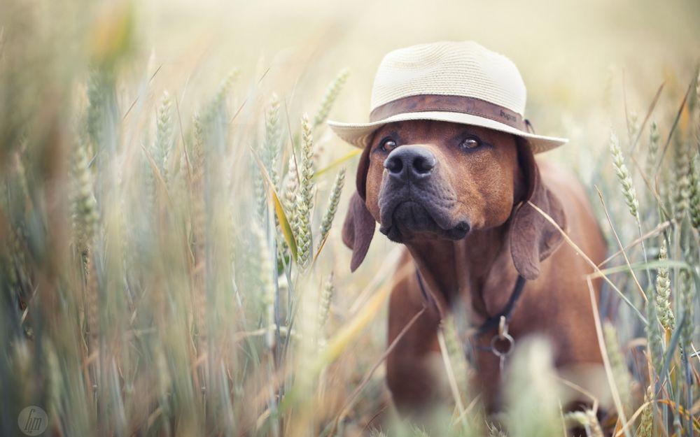 Собака в шляпе