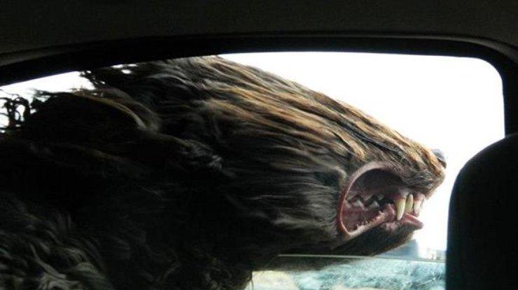 Собаки в машине