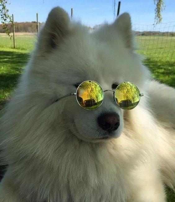 Собаки в очках