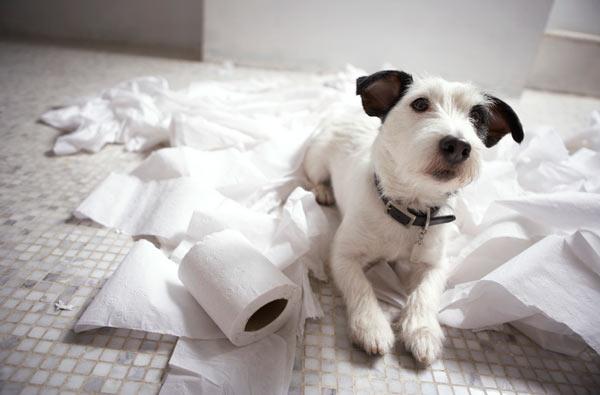 Важные советы в приучении щенка к лотку