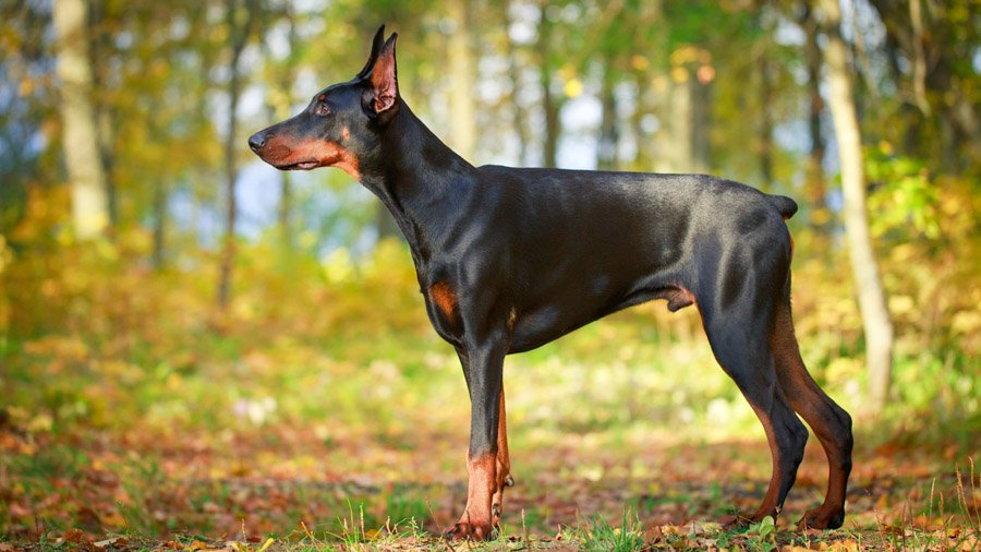 Доберман-пинчер - отличный сторожевой пес, прекрасный охранник