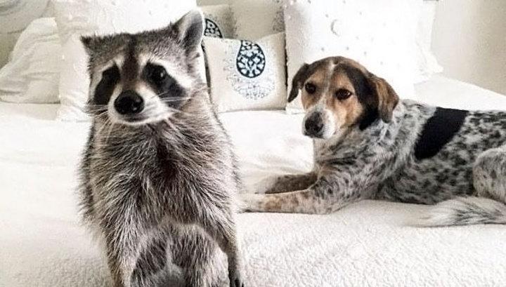 Еноты и собаки