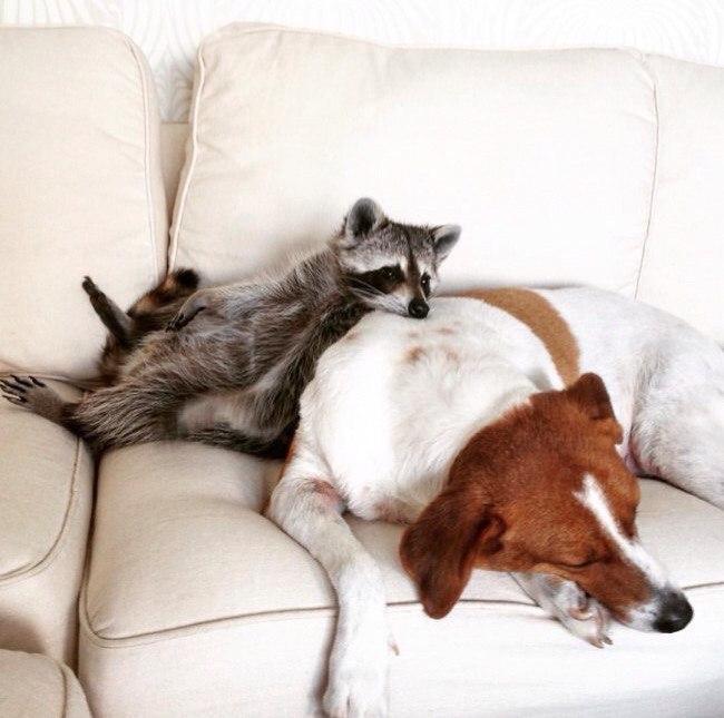 Енот и собаки