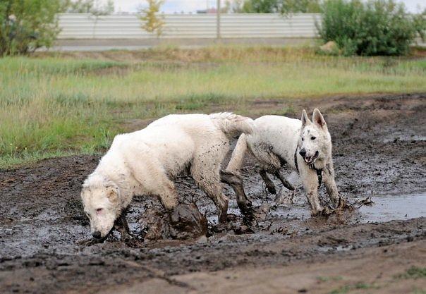 Собаки-грязнули
