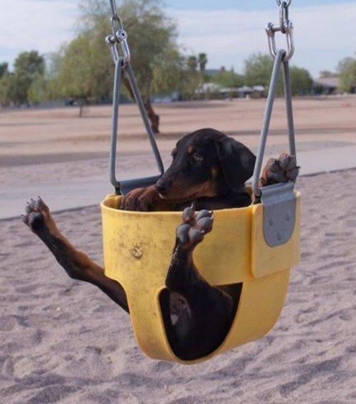 Собаки на качелях