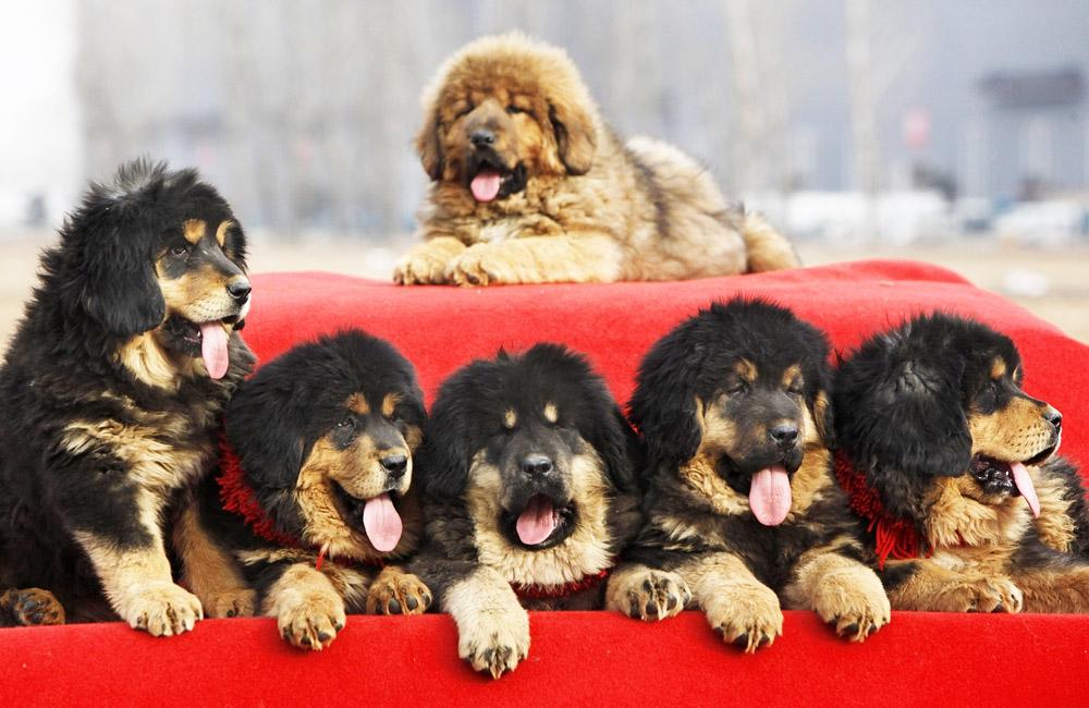 Выбор щенка из помета