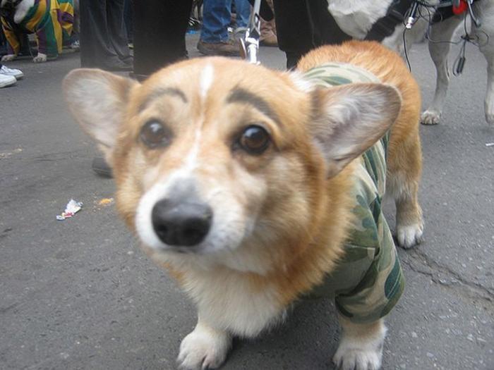 Собаки с бровями