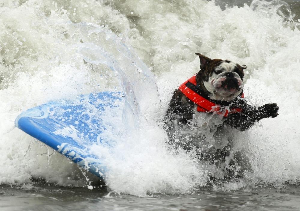 Собаки-серфингисты