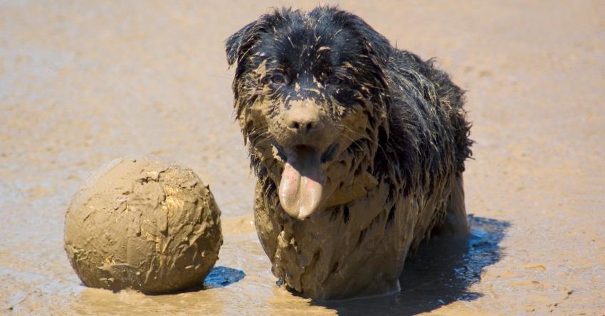 Собака в грязи валяка