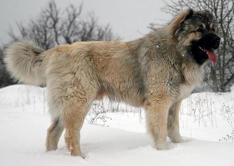 Кавказская овчарка: описание породы