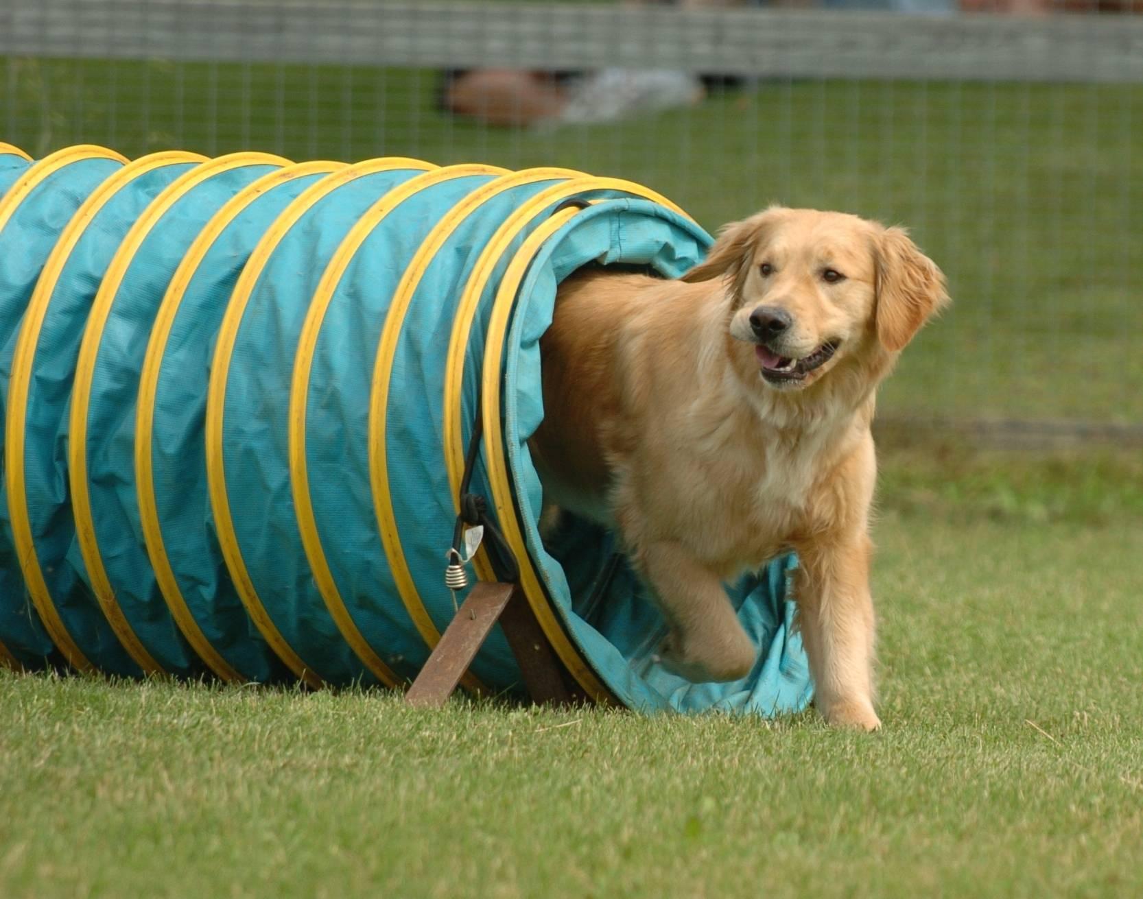 Аджилити для собак: что это?