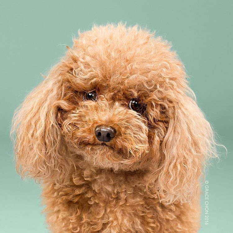 Грэйс Чон: стрижки собак - до и после