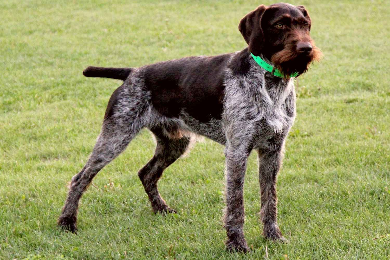 Дратхаар - немецкая жесткошерстная легавая собака