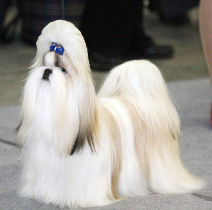 Ши-тцу - древнейшая китайская порода собак