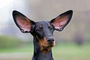 Собачьи уши