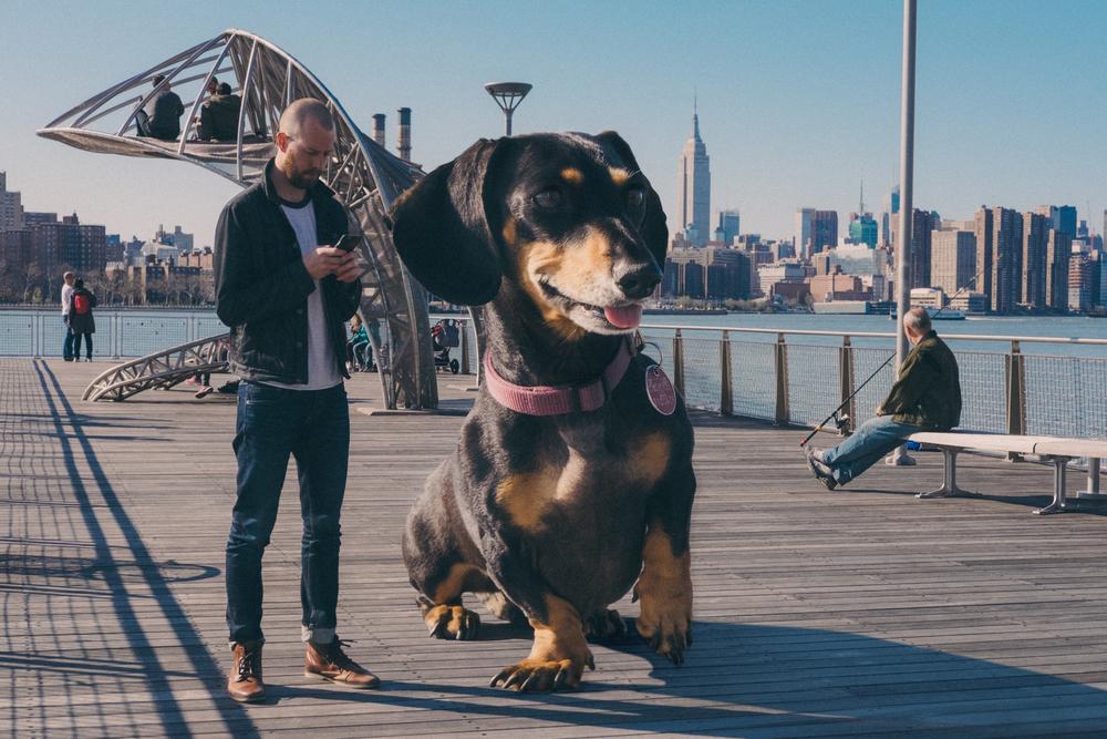 Такса-великан в Бруклине