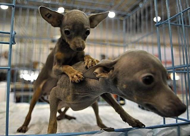 Вязка у собак: все, что необходимо знать хозяину