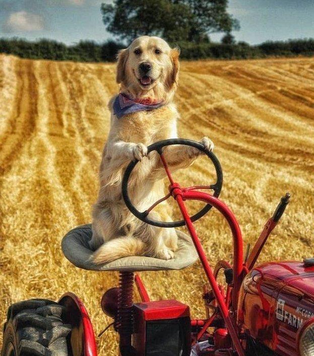 Собака-тракторист: знакомьтесь - Рэмбо