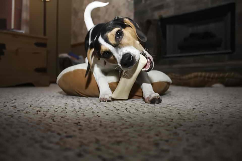Собаки, жующие тапки