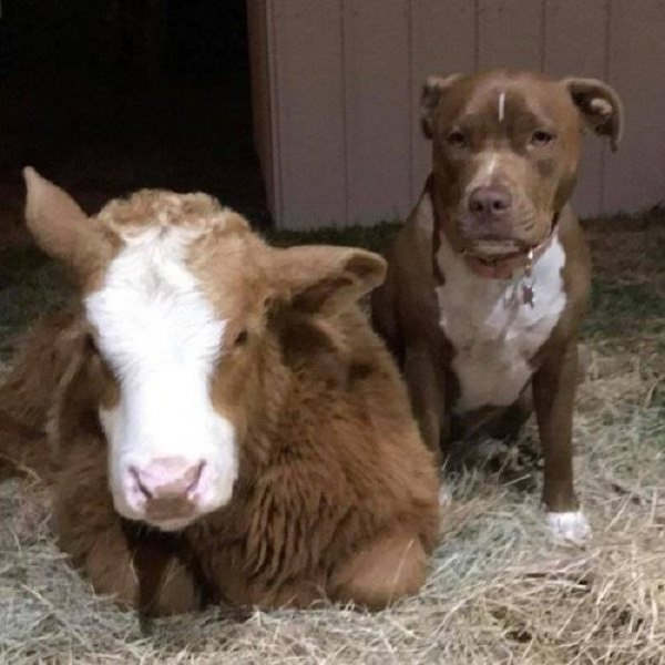 Корова, которая думает, что она - собака