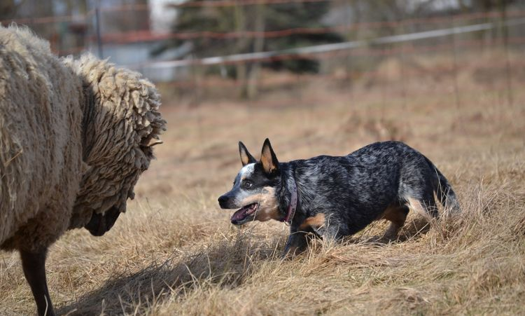 Пастушьи и скотогонные собаки, кроме швейцарских скотогонных