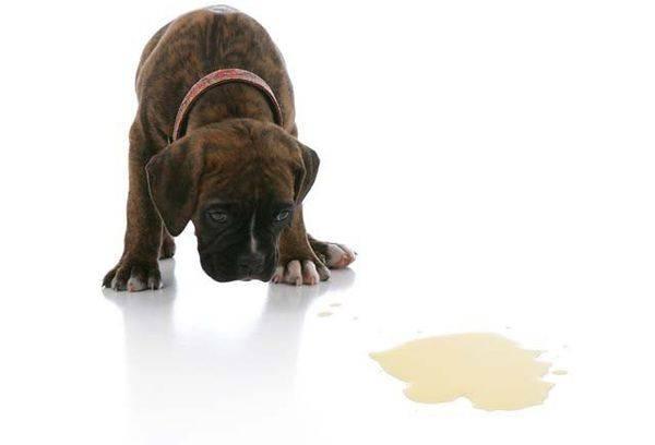 Собака делает лужи дома: причины, как исправить